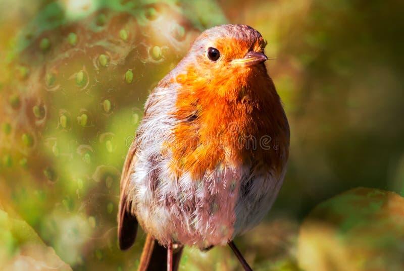 Pisco de peito vermelho do pássaro com textura B da morango fotos de stock