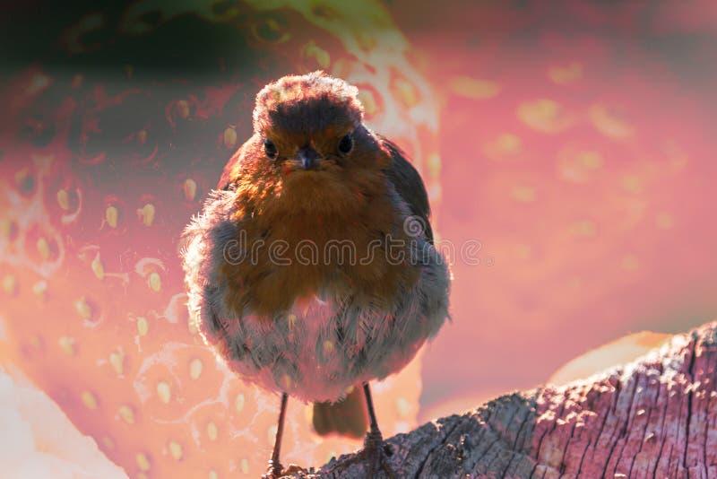 Pisco de peito vermelho do pássaro com textura A da morango fotografia de stock