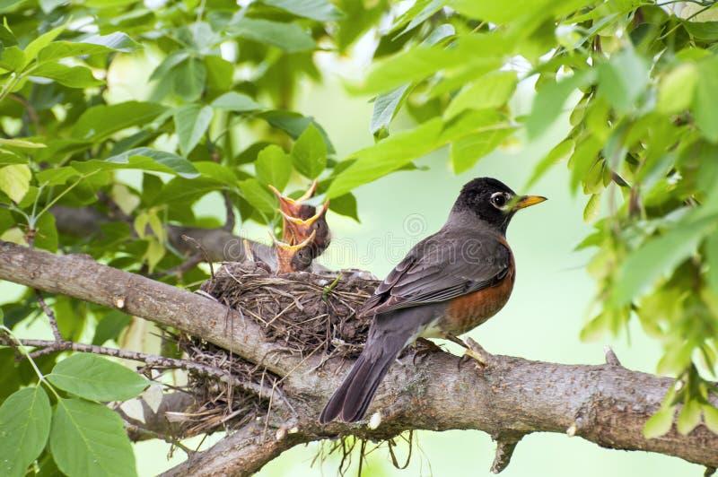 Pisco de peito vermelho e pássaros de bebê
