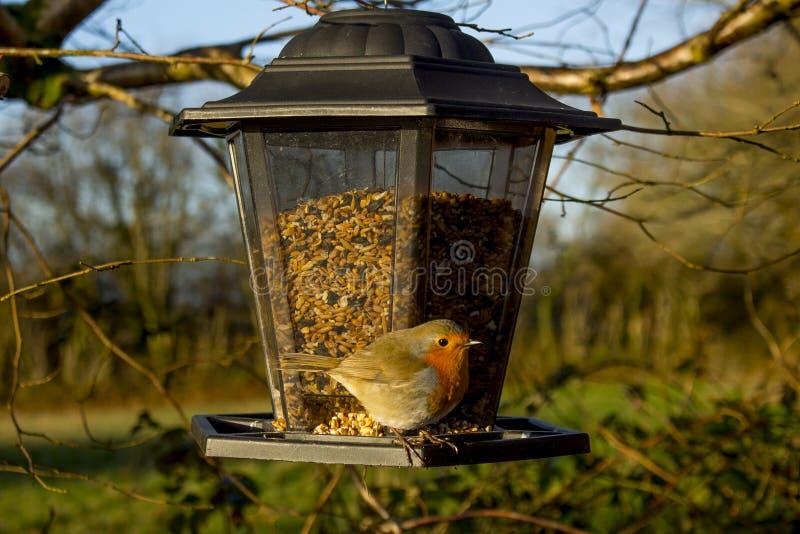 Pisco de peito vermelho em um alimentador do pássaro fotografia de stock