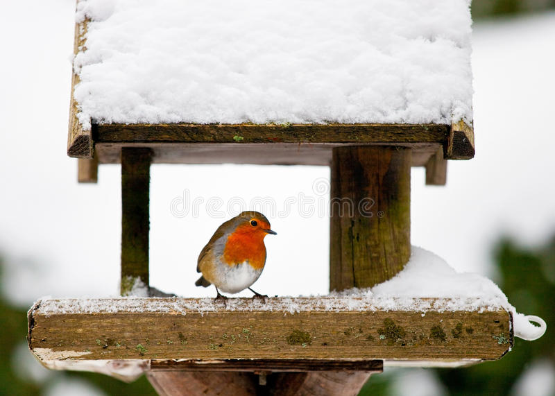 Pisco de peito vermelho em um alimentador nevado do pássaro no inverno fotos de stock