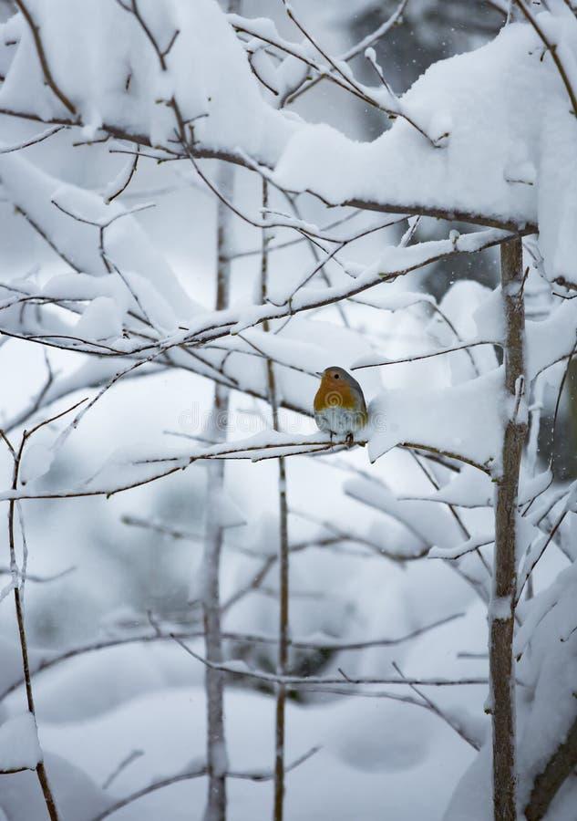 Pisco de peito vermelho em uma árvore nevado fotos de stock