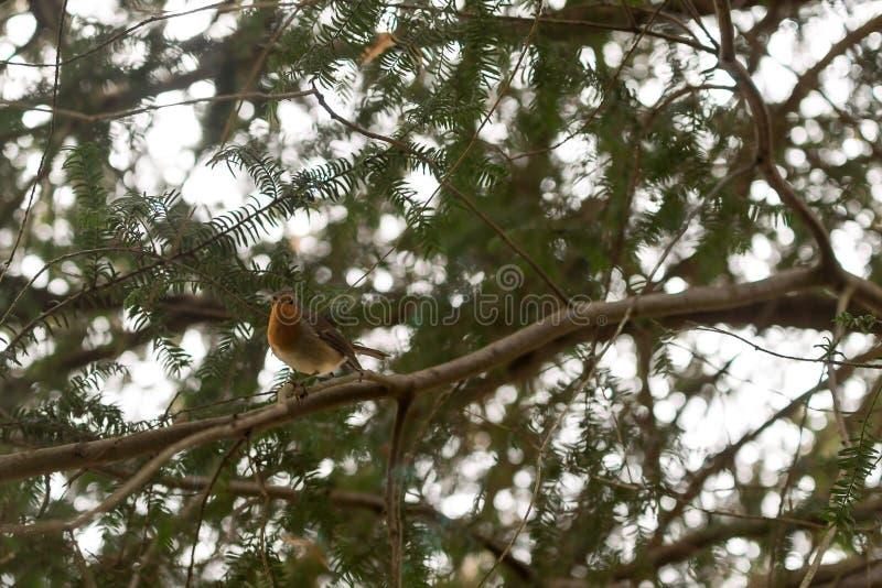 Pisco de peito vermelho na filial de árvore foto de stock