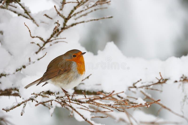 Pisco de peito vermelho na neve imagens de stock royalty free