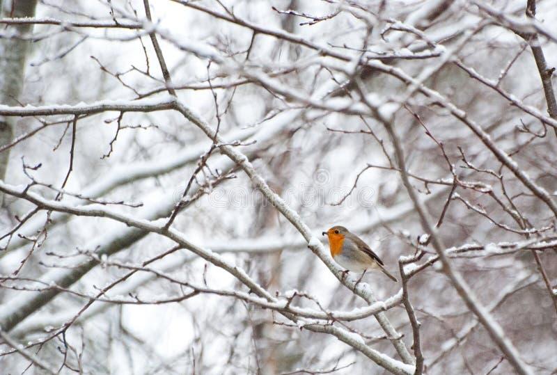 Pisco de peito vermelho no inverno fotografia de stock royalty free