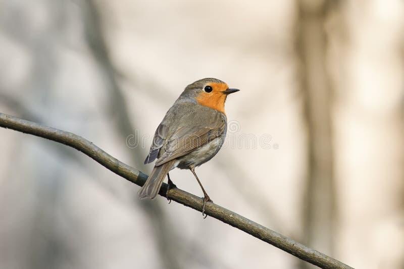 Pisco de peito vermelho pequeno do pássaro no parque da mola fotos de stock