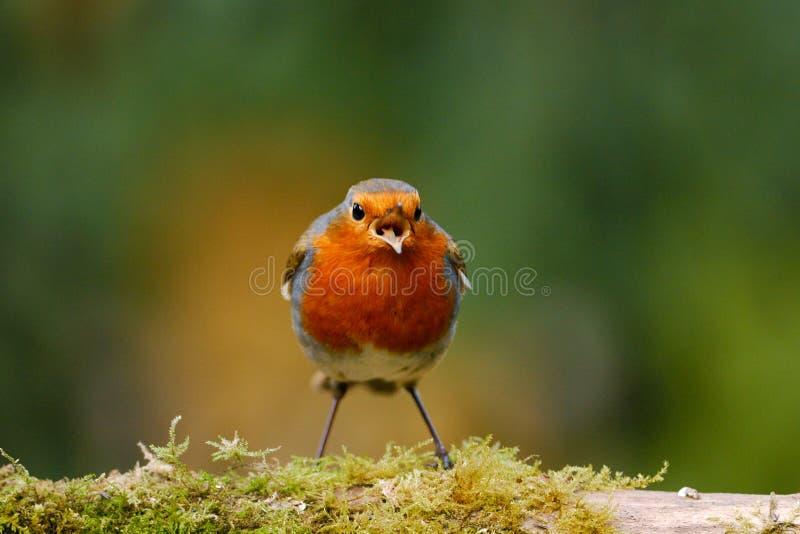 Pisco de peito vermelho que canta em um registro mossy fotografia de stock