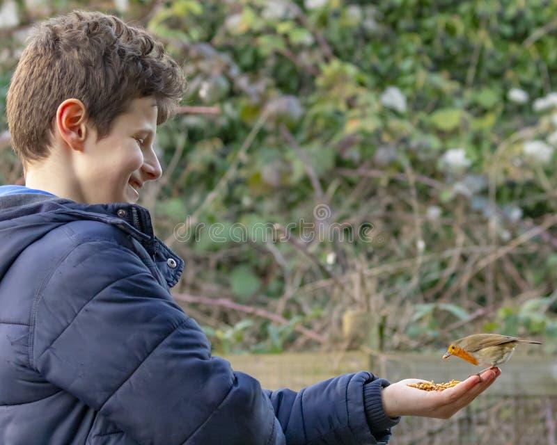 Piscos de peito vermelho de alimentação do menino novo da mão foto de stock