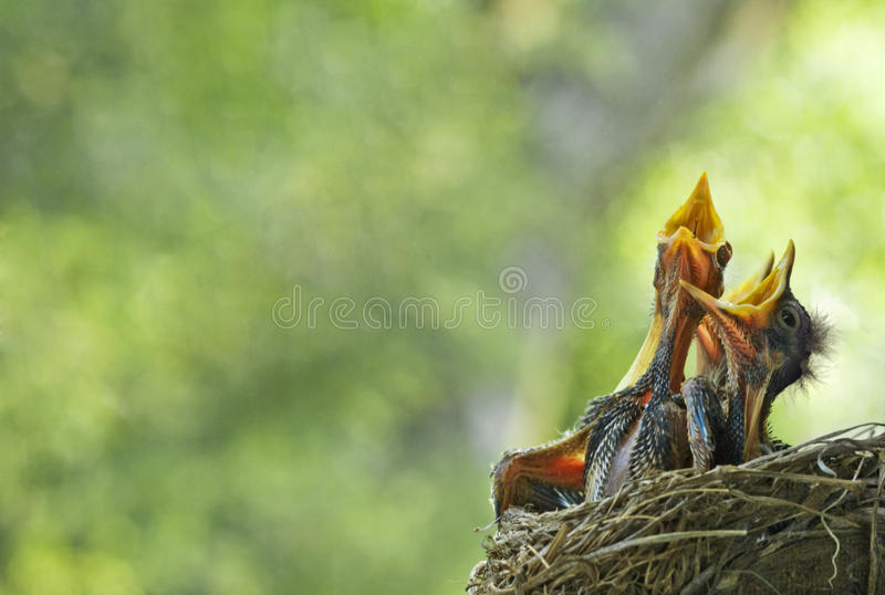 Piscos de peito vermelho com fome do bebê no ninho