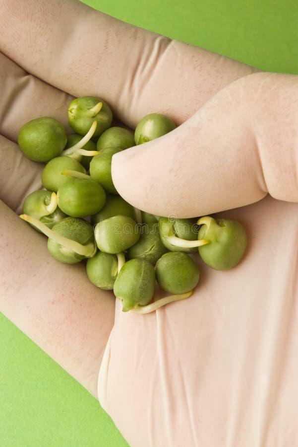 Piselli germinati disponibili immagini stock libere da diritti