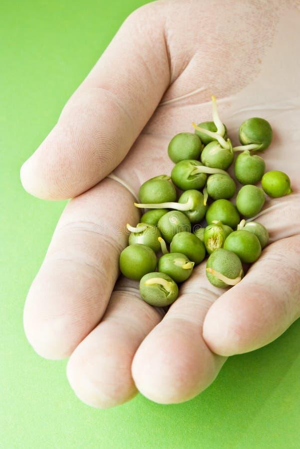 Piselli germinati per ricerca fotografia stock