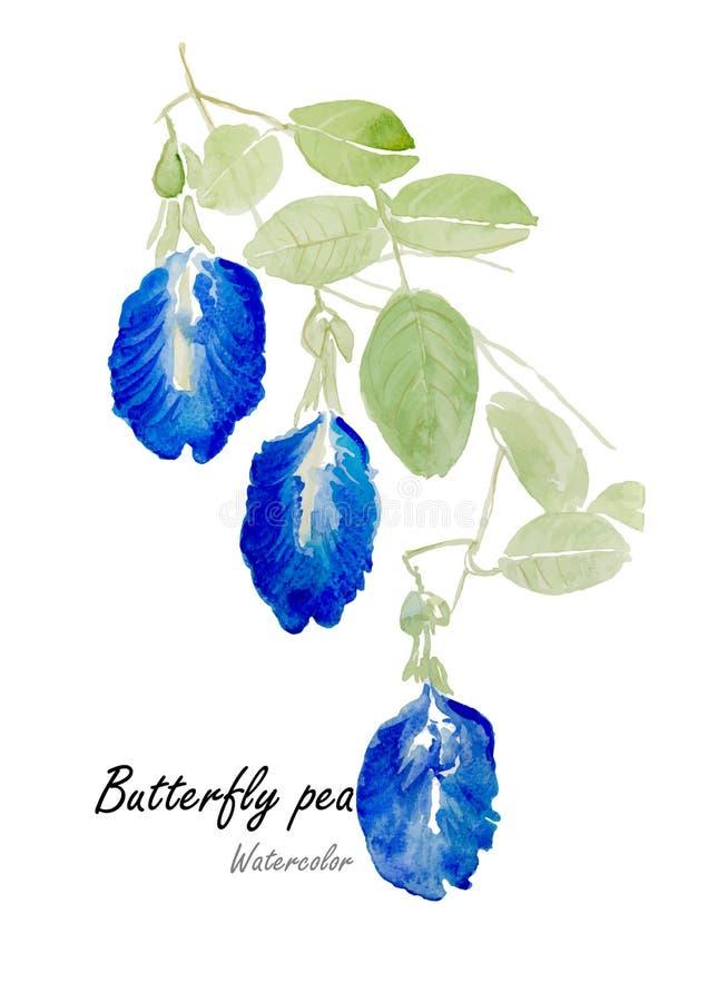 Pisello blu o pisello di farfalla Pittura disegnata a mano dell'acquerello sul fondo bianco Illustrazione di vettore royalty illustrazione gratis