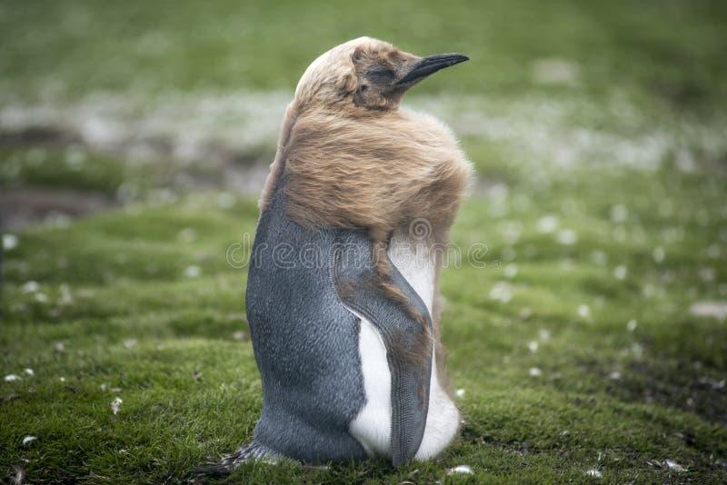 Pisklęcy królewiątko pingwin opuszczał na elementach przy Ochotniczym punktem obrazy stock