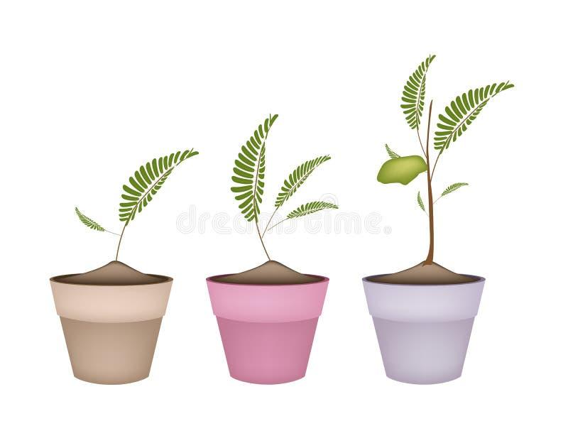 Pisklęcych grochów roślina w Ceramicznych kwiatów garnkach ilustracja wektor