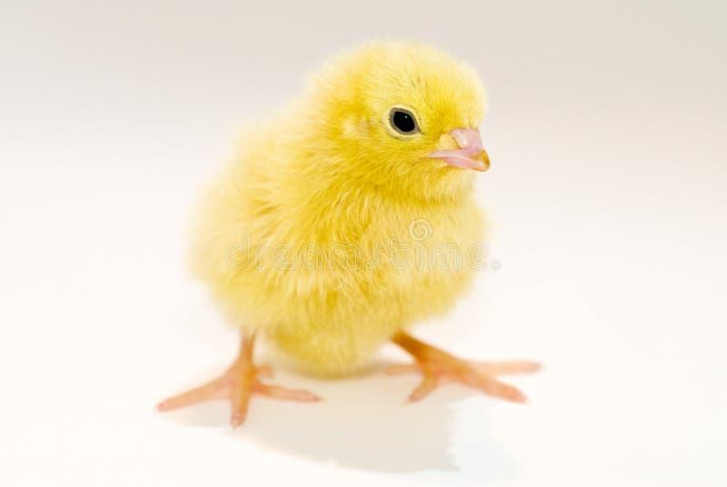 pisklęta dziecka żółty fotografia royalty free