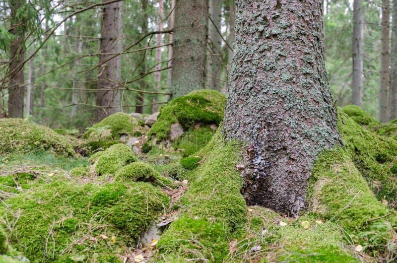 Piso cubierto de musgo verde del bosque fotos de archivo libres de regalías