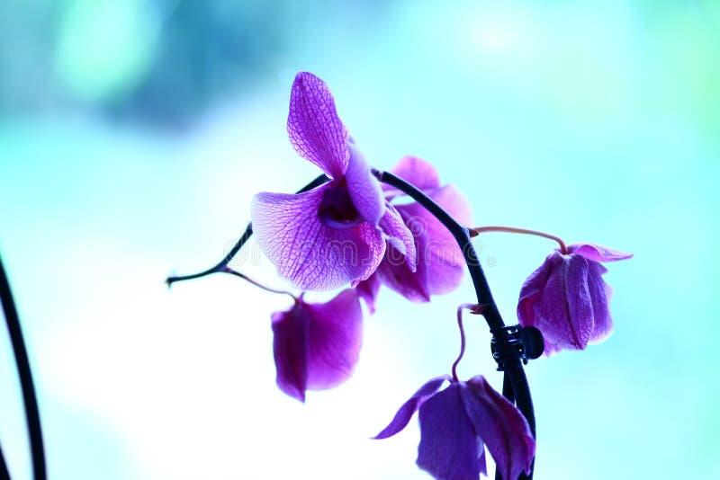 Piso; violeta; púrpura; jardín; hortencia imagenes de archivo