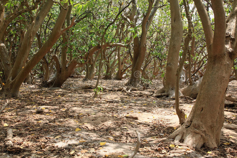 Pisonia trees on Lady Musgrave Island royalty free stock photos