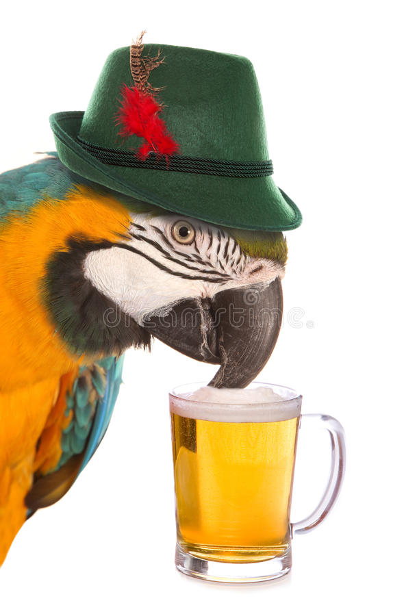 Pissed ως παπαγάλο στοκ φωτογραφία με δικαίωμα ελεύθερης χρήσης