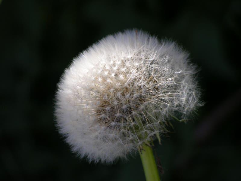 Download Pissenlit photo stock. Image du pissenlit, nature, blanc - 78268