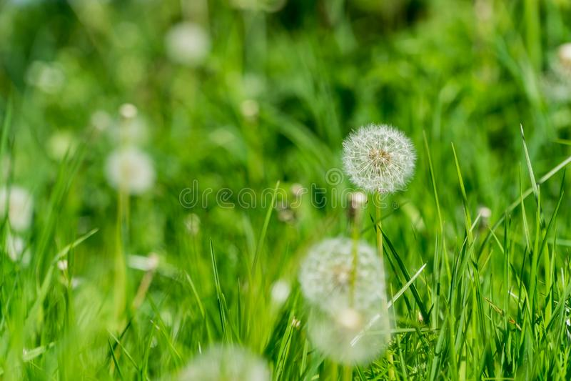Pissenlit allé pour semer la fleur dans un jardin, fond de tache floue de foyer de centre au printemps en parc photographie stock