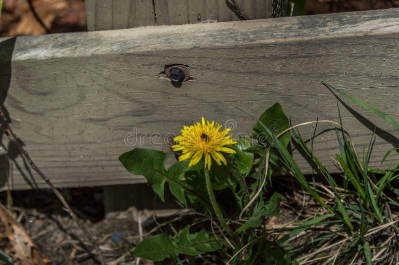 Pissenlit avec l'insecte images libres de droits