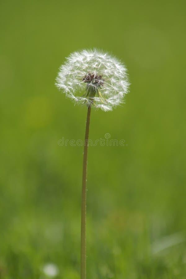 Pissenlit blanc photographie stock