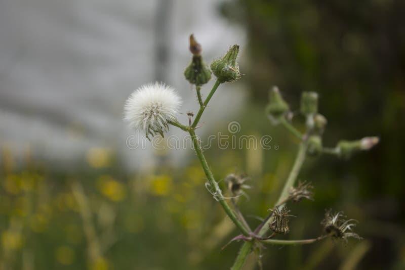 Pissenlit blanc avec des pissenlits de bébé environ à la fleur image libre de droits