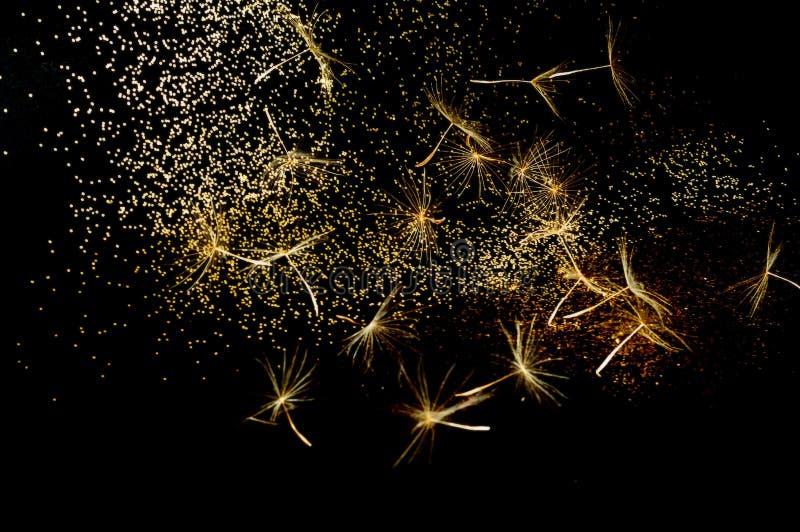 Pissenlit blanc d'inflorescences sur le fond noir avec les étincelles d'or effet brouill? images stock