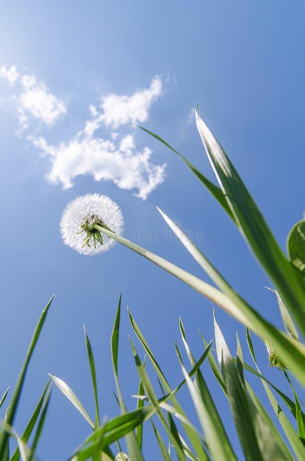 Pissenlit blanc dans l'herbe verte sous le ciel bleu avec des nuages photos stock