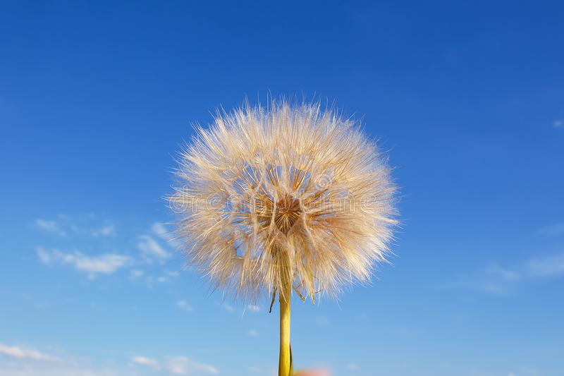Pissenlit blanc pelucheux contre le ciel bleu photo libre de droits