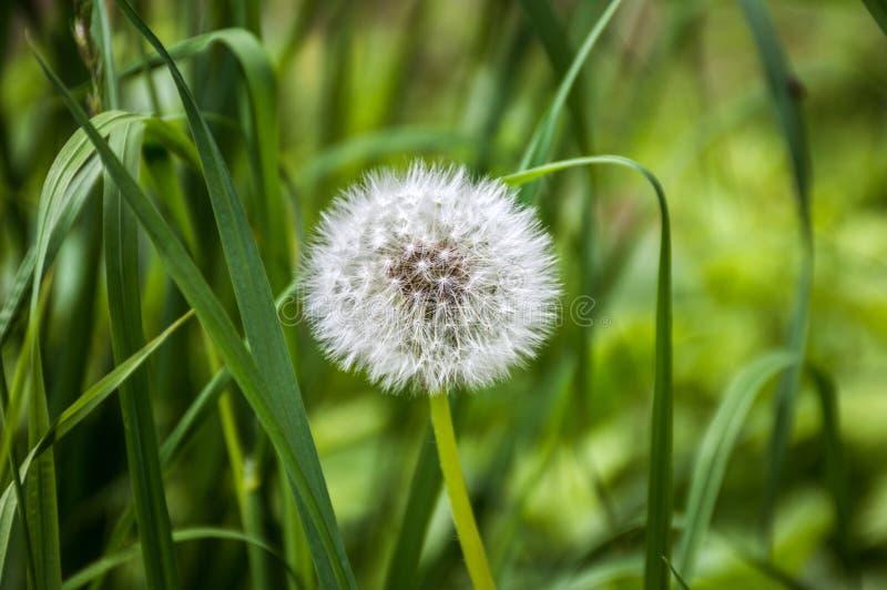 Pissenlit dans l'herbe verte, fleur, macro photographie stock libre de droits