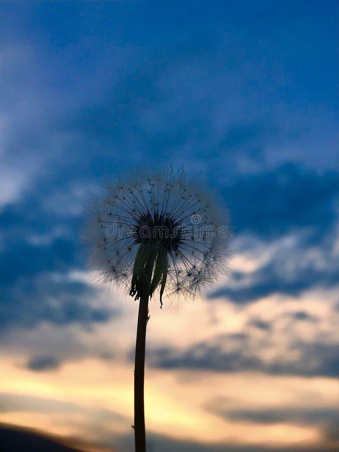 Pissenlit dans le coucher du soleil photographie stock libre de droits
