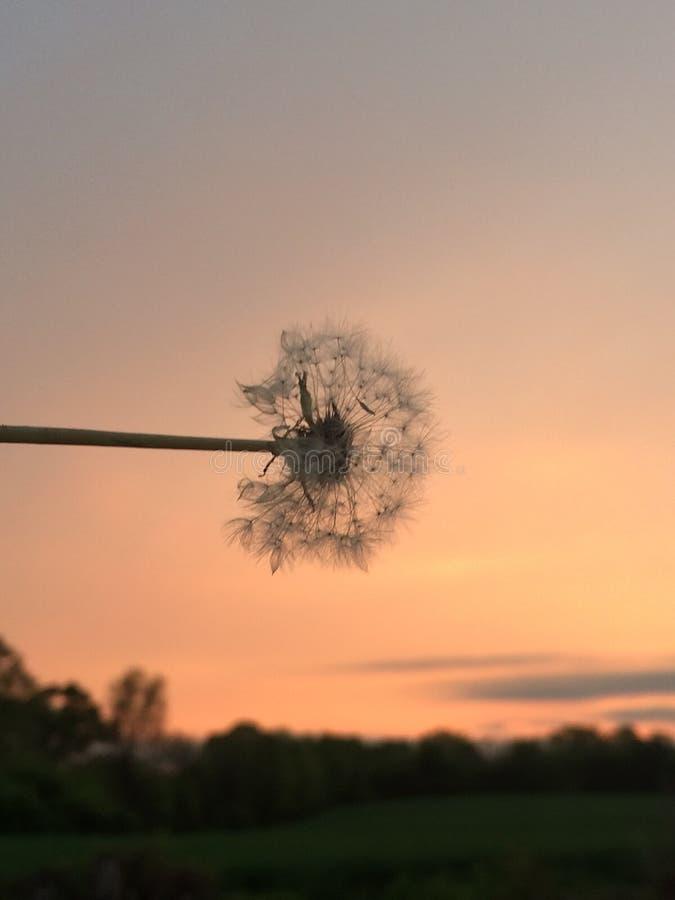 Pissenlit dans le coucher du soleil images stock