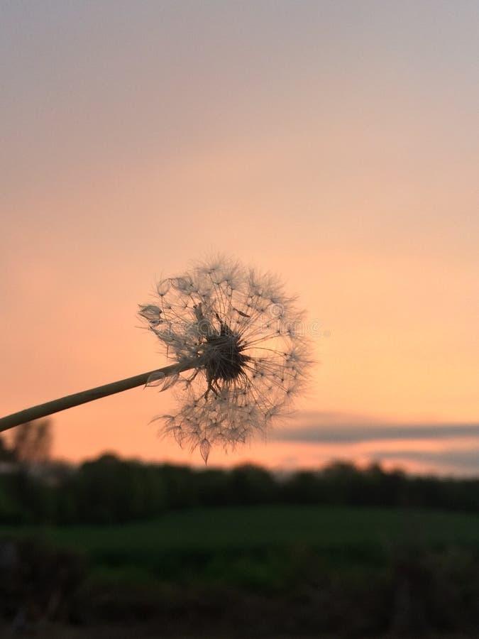 Pissenlit dans le coucher du soleil photo stock