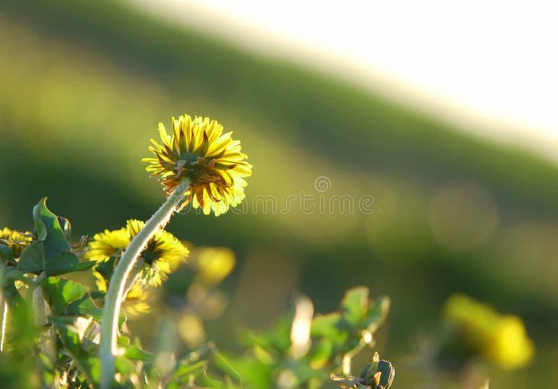 Pissenlit de floraison faisant face à s image stock
