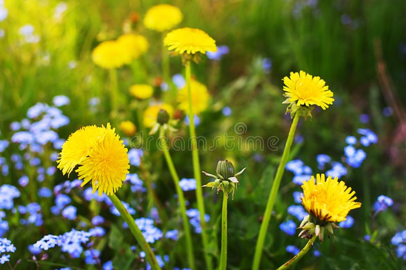 Pissenlit de mutant parmi les fleurs normales photo stock