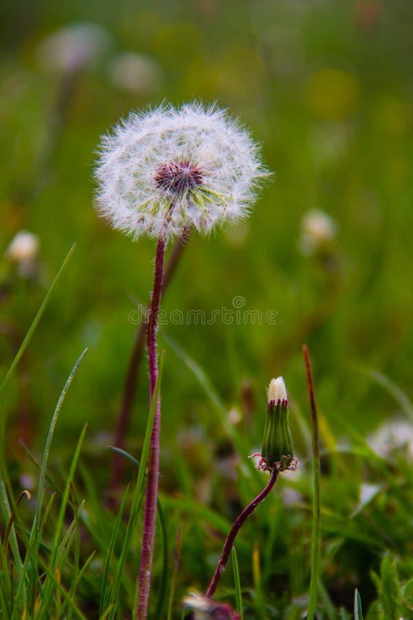 Pissenlit, fleur image libre de droits