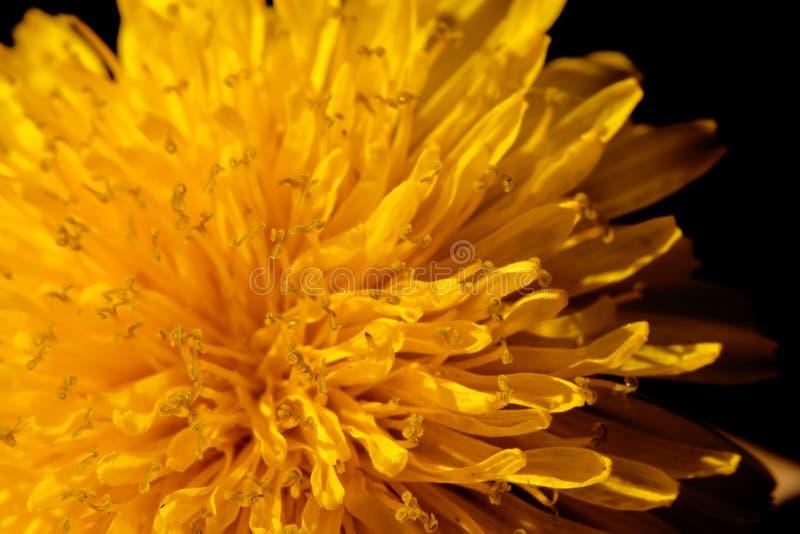 Pissenlit jaune dans l'environnement naturel images libres de droits