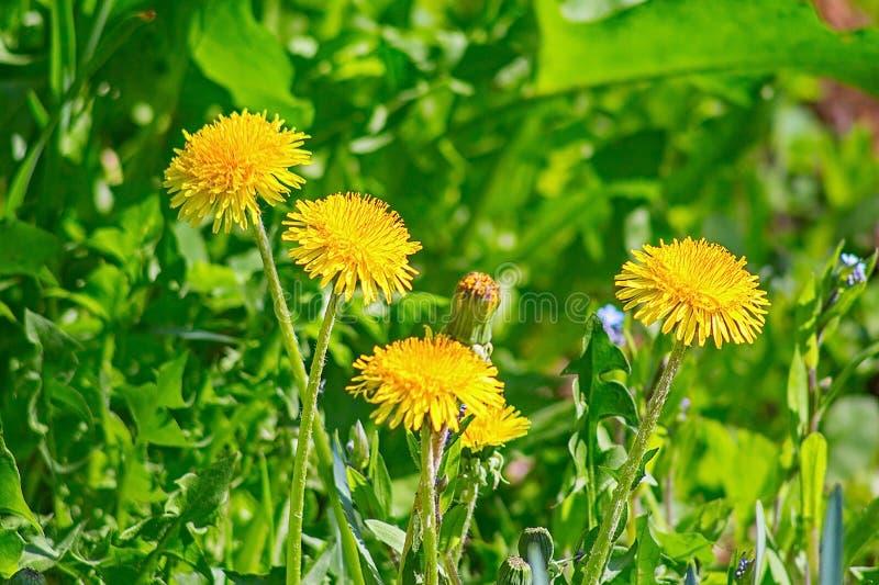 Pissenlit jaune de fleur dans l'herbe photographie stock libre de droits
