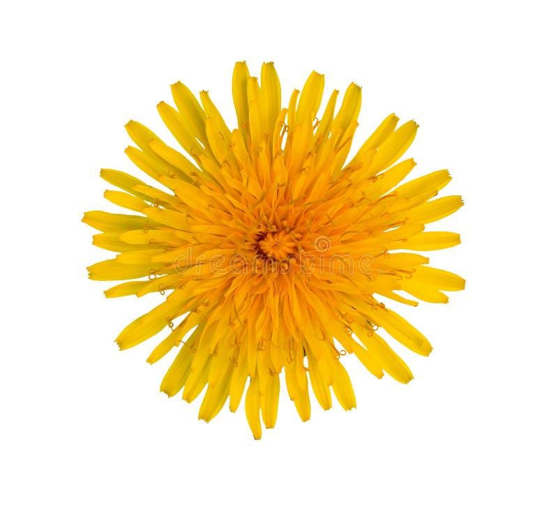 Pissenlit jaune de floraison sur un fond blanc photographie stock libre de droits