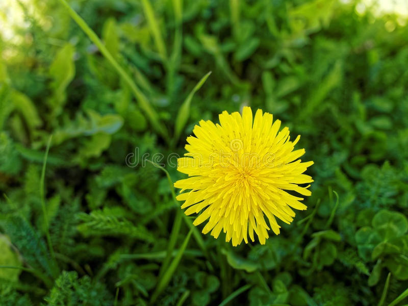 Pissenlit jaune lumineux photos stock