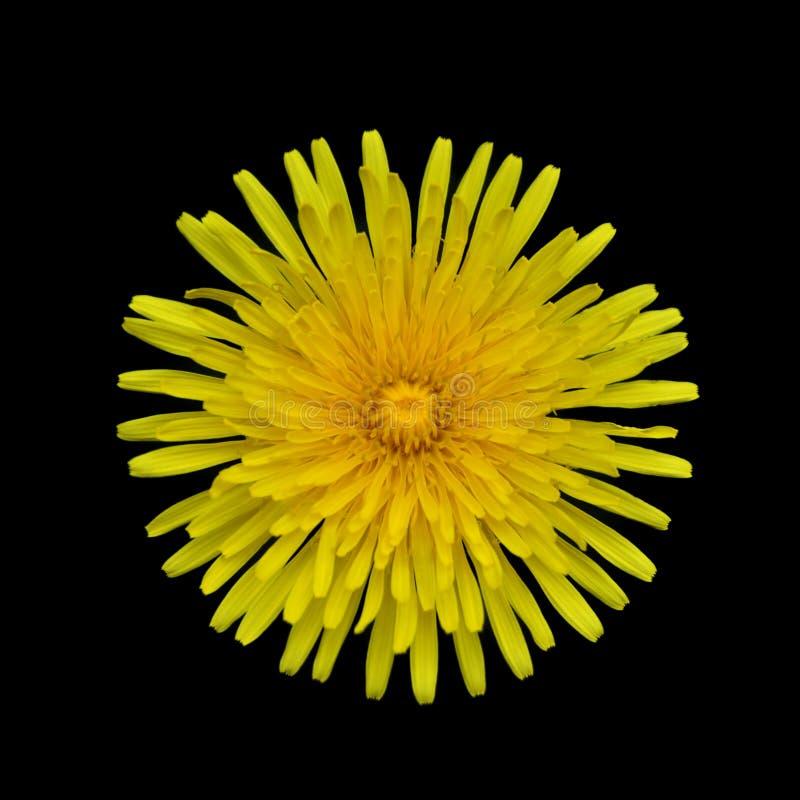 Pissenlit jaune - officinale de Taraxacum d'isolement photographie stock
