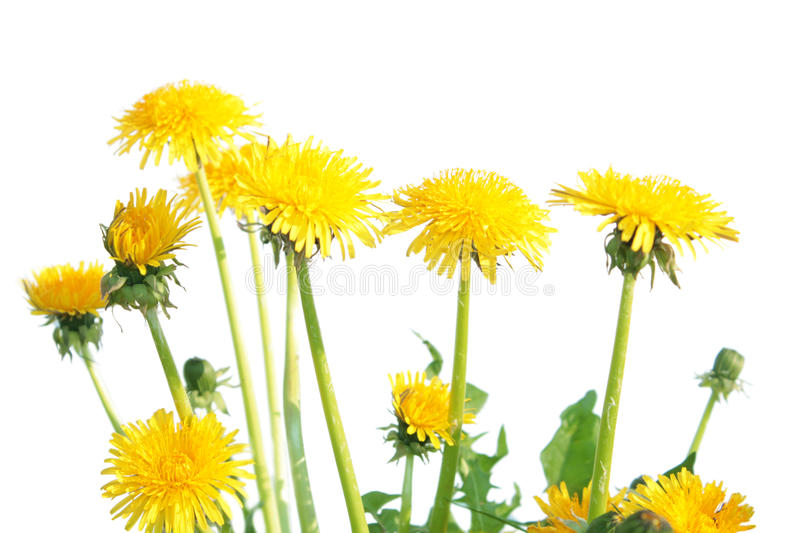Pissenlit (officinale de Taraxacum) d'isolement sur le blanc photo stock