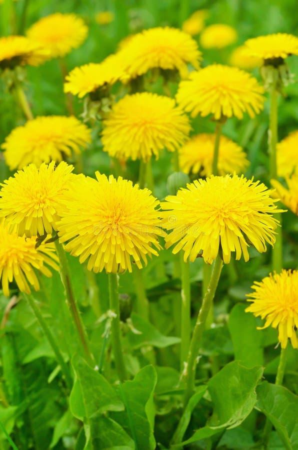 Pissenlit parmi des fleurs photos stock