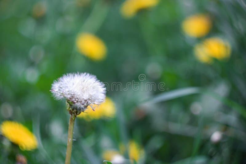Pissenlit pelucheux blanc sur le champ avec des fleurs images stock