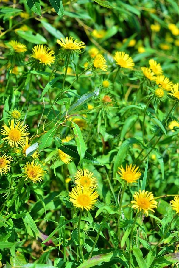 Pissenlit, persil sauvage, sedum Pissenlit jaune photos libres de droits