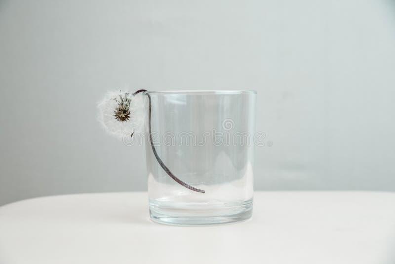 Pissenlit sec dans un verre transparent sur un fond gris-clair image stock