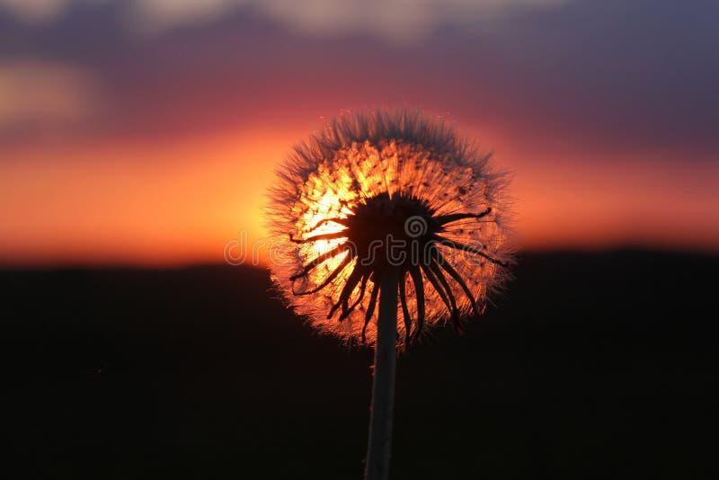 Pissenlit silhouetté dans le coucher du soleil de l'Iowa image libre de droits