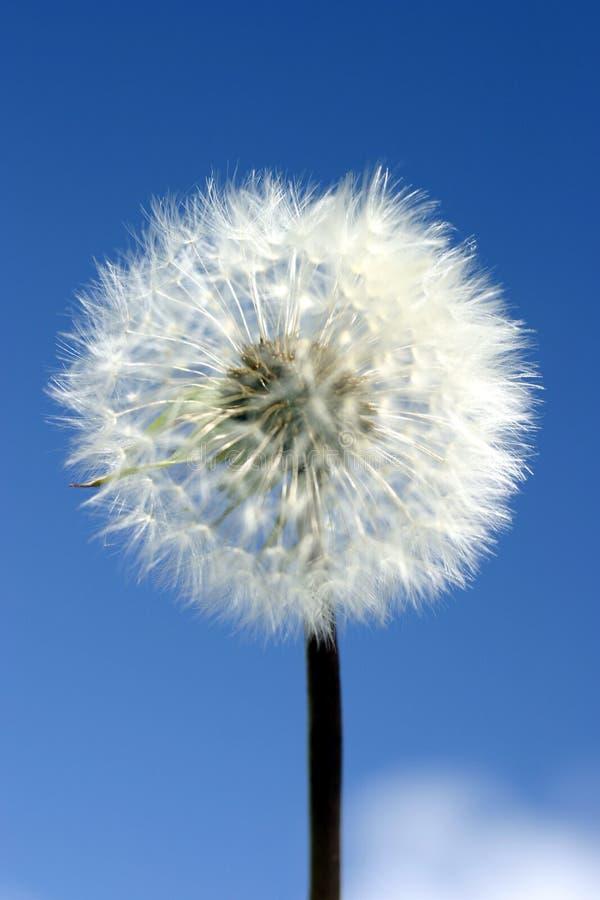 Pissenlit simple sur le ciel bleu photographie stock
